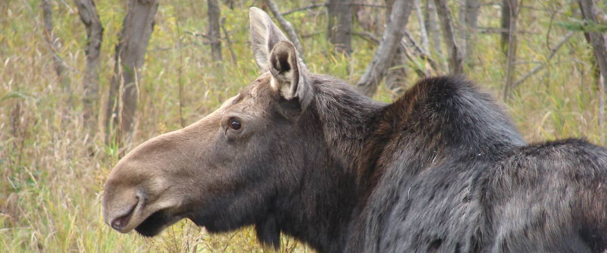 Moose on Route 16 in Rangeley, Maine